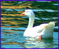 swan Indian goose nature free photos images pictures